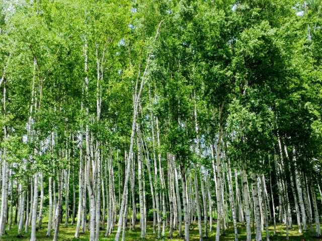 カバノアナタケが生息する白樺の木